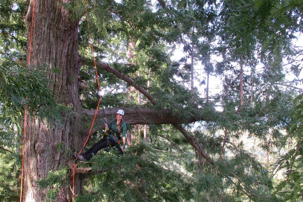 A young woman in climbing gear climbs a big tree