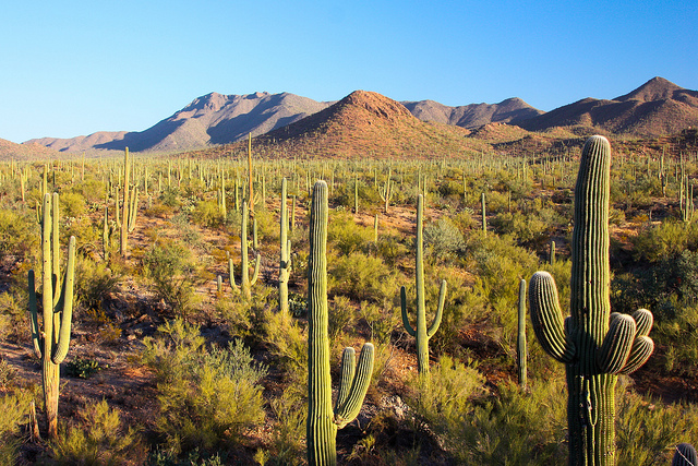 A forest of saguaro cacti with mountains in the background