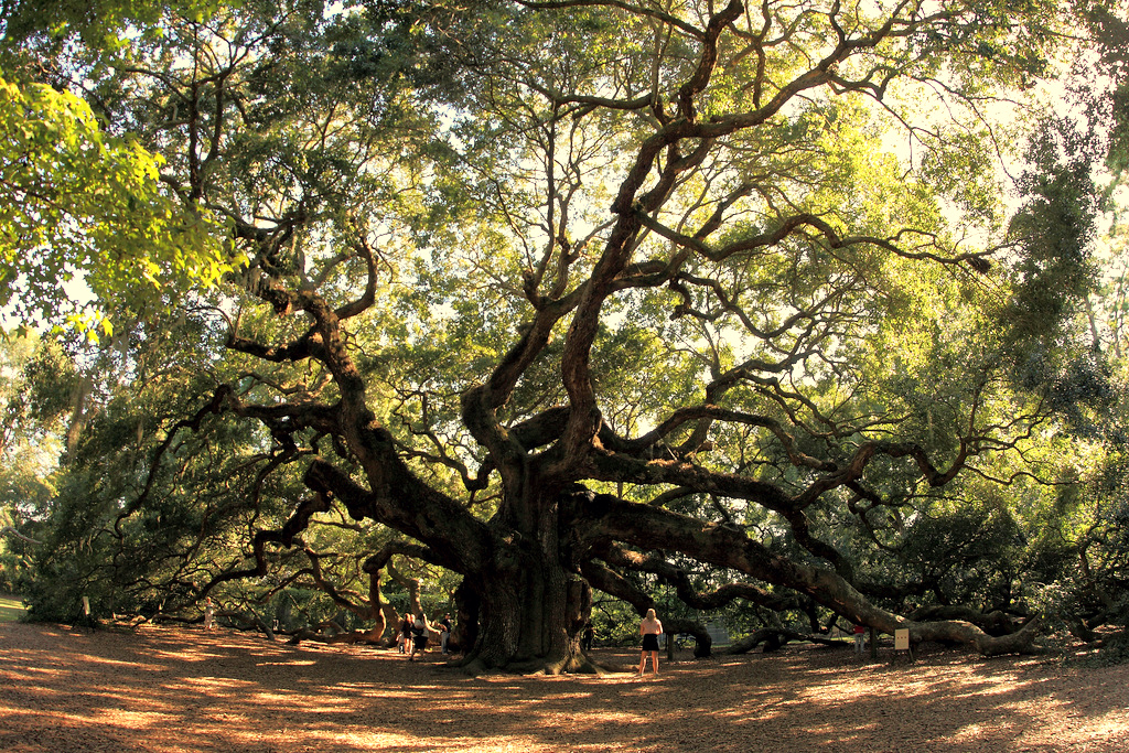 Angel Oak Park, Charleston, South Carolina