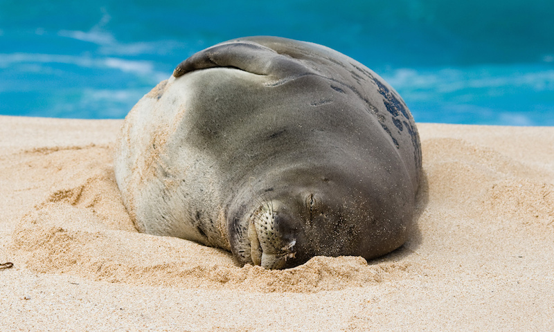 A monk seal sleeping on the beach