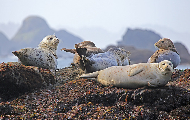 Marine mammals hauled out on a rock