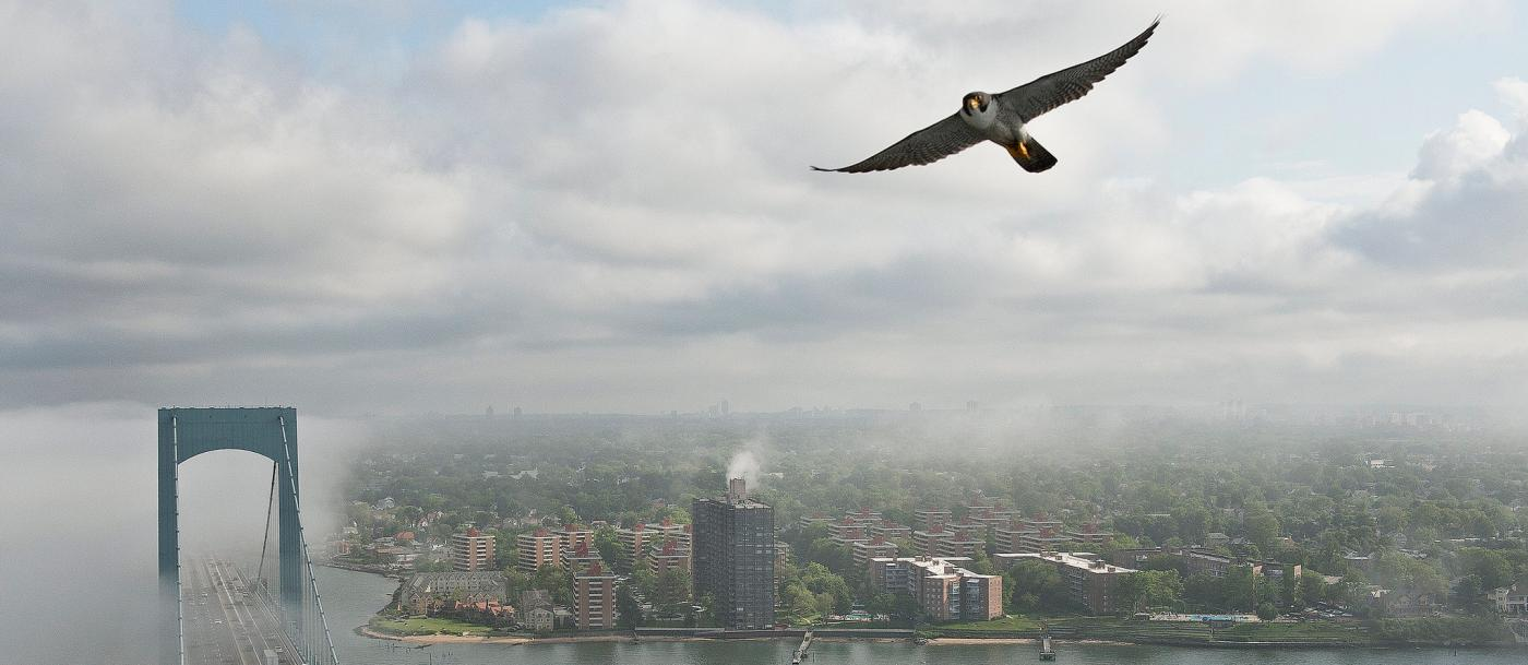 A peregrine falcon flies over New York City