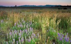 Lupine, sagebrush and wild grasses in a meadow with mountains on distant horizon in Martis Valley, CA. Waddle Ranch.  Lupine, sagebrush and wild grasses in a meadow with mountains on distant horizon in Martis Valley, CA. Waddle Ranch.