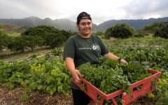 Bins overflow with freshly-picked chard MA'O Farms in Waianae, HI.   Bins overflow with freshly-picked chard MA'O Farms in Waianae, HI.