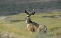 A buck deer roams the Pinedale Anticline Natural Gas Field in the Wyoming Range  A buck deer roams the Pinedale Anticline Natural Gas Field in the Wyoming Range
