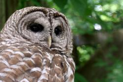 Barred owl at Glen Helen Nature Preserve, OH