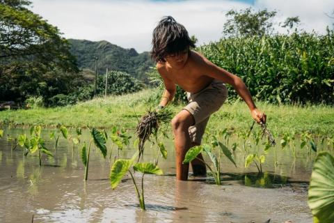 A boy harvests kalo