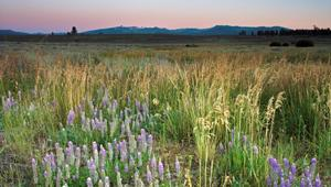 Lupine, sagebrush and wild grasses in a meadow with mountains on distant horizon in Martis Valley, CA. Waddle Ranch.