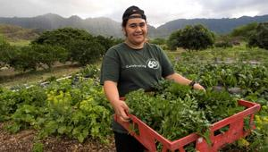 Bins overflow with freshly-picked chard at MA'O Farms in Waianae, HI.