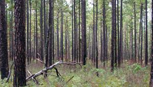 Nantachie-Saline Restoration Area, Kisatchie National Forest