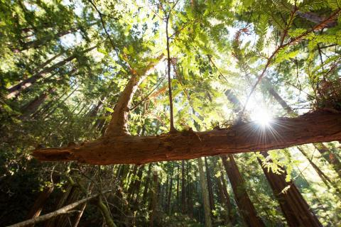 View of a redwood canopy