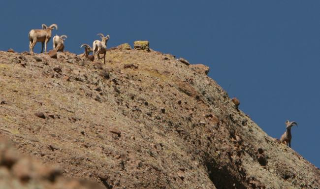 Several desert bighorn sheep on a cliff in Aravaipa Canyon Wilderness