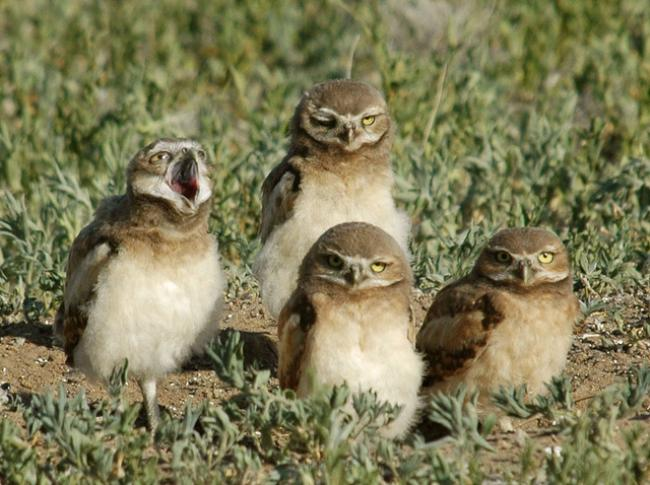 4 burrowing owls