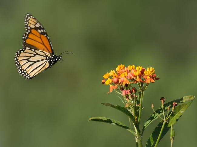 A monarch butterfly in flight