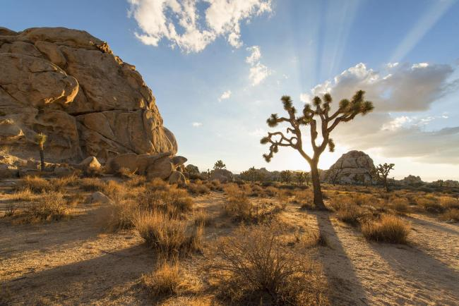 A joshua tree and a rock outcropping
