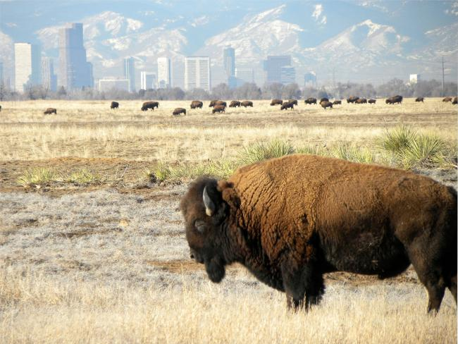 A bison grazes with Denver's skyline in the background