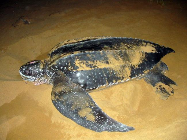 Leatherback Turtle, San Miguel Natural Reserve  Leatherback Turtle, San Miguel Natural Reserve