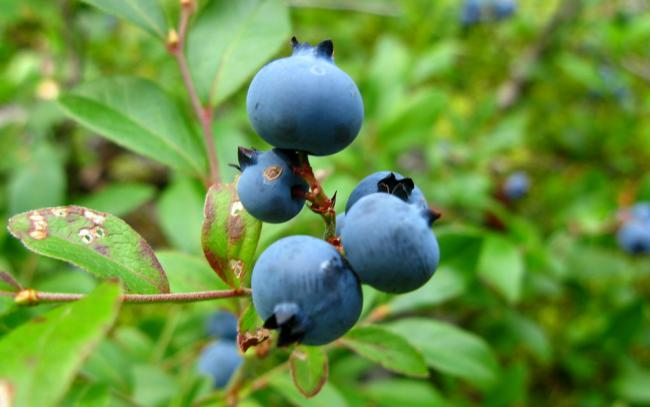 Close-up of wild blueberries