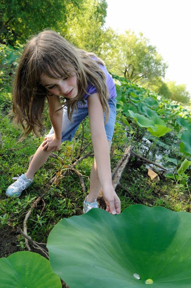 A young girl studies a drop of water on a giant leaf along the Tennessee Riverwalk.  A young girl studies a drop of water on a giant leaf along the Tennessee Riverwalk.