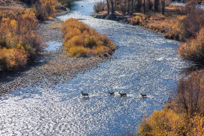Photo of some deer crossing a river in Steel Ranch  Photo of some deer crossing a river in Steel Ranch
