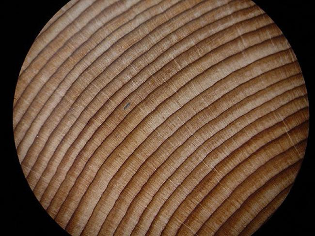 A tree ring cross-section under the microscope