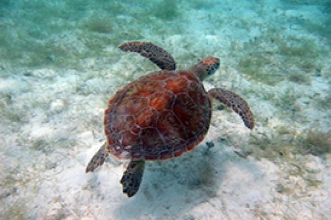 US Virgin Islands Green turtle
