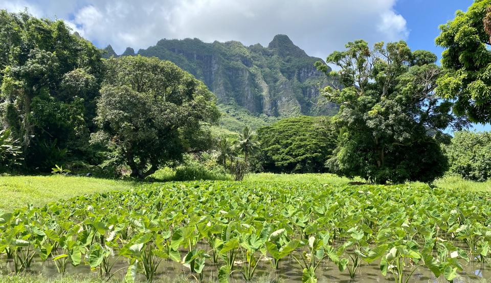 A kalo farm in the foreground with sharp mountains on the horizon